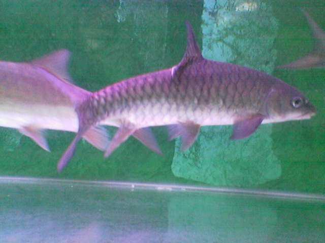Download 88 Gambar Ikan Batak Terpopuler