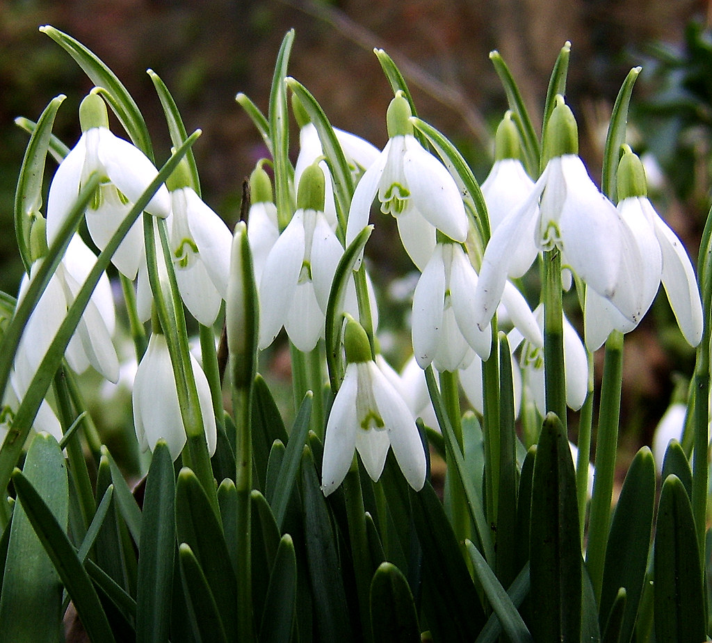 snowdrops, ghiocei - Galanthus | Macro experiment with focal… | Flickr