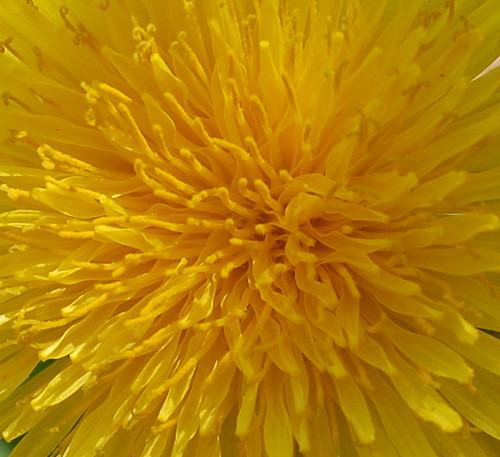 dandelion yellow | by glennisd