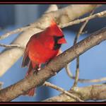 Cardinal 0003