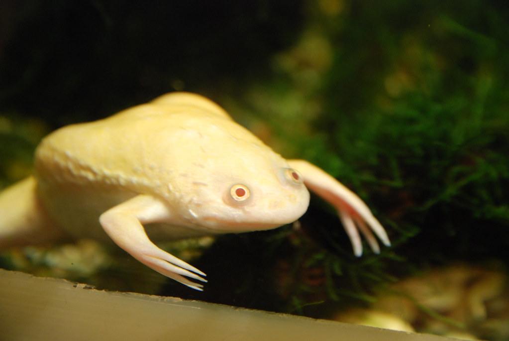African Clawed Frog (albino)