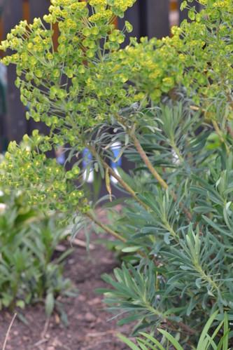 Euphorbia wulfenii 'Thelma's Giant' | by Avondale Nursery
