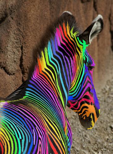 An  Extreemely Rare Rainbow Zebra | by Creativity+ Timothy K Hamilton