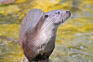 Wet otter | by Tambako the Jaguar