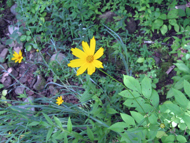 Coreopsis lanceolata, Big South Fork, TN