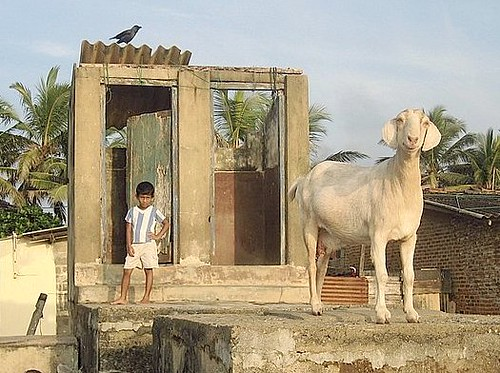 Still Life with goat........and toilet!