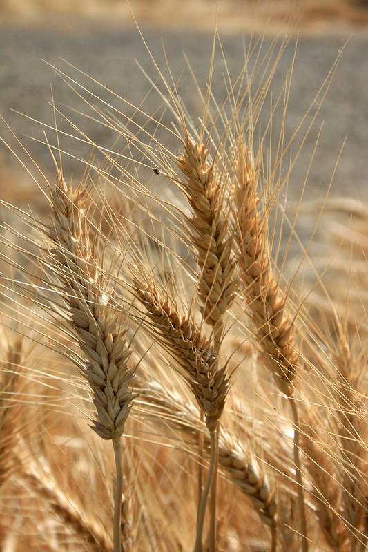 farmington oats