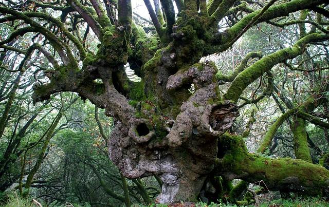 Aesculus californica - California Buckeye [best]
