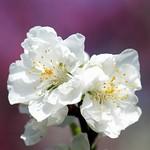 桃の花/Prunus
