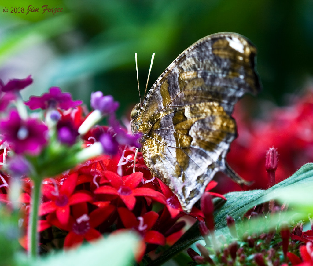 Tiger Leafwing (Consul fabius) by Jim Frazee