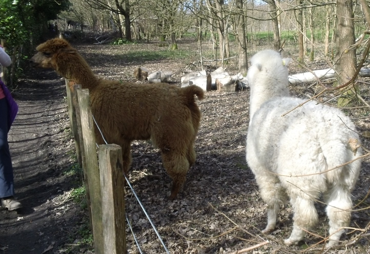 Curious llamas Eden Valley walk route, Kent