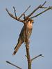 Red-necked Falcon Falco chicquera by tristanba