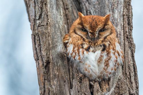 megascopsasio birdofprey owl predator nature bird wildlife easternscreechowl redmorph raptor newjersey unitedstates us nikon d800e