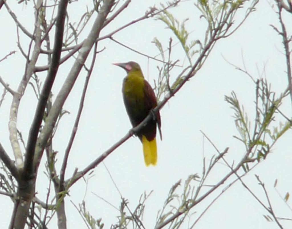Psarocolius bifasciatus - AD - I - P - MT - Alta Floresta (Cristalino Jungle Lodge) - 26.04.09 - GP 01