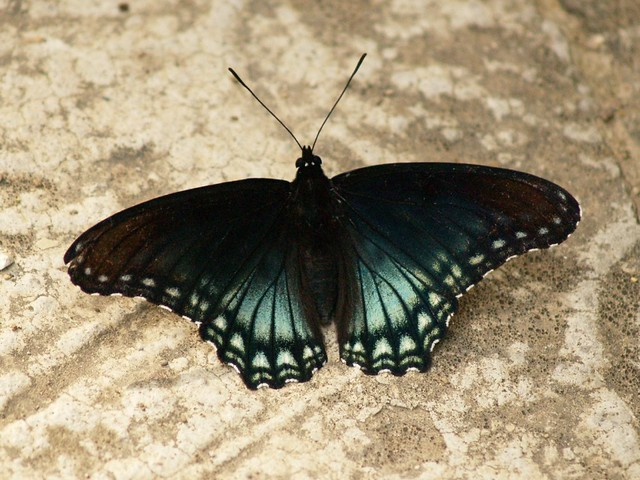 Falso papalote azul / Red-spotted Purple
