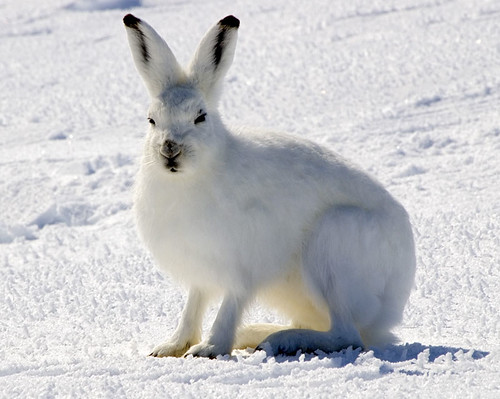 Arctic_Hare | by The Saylesman