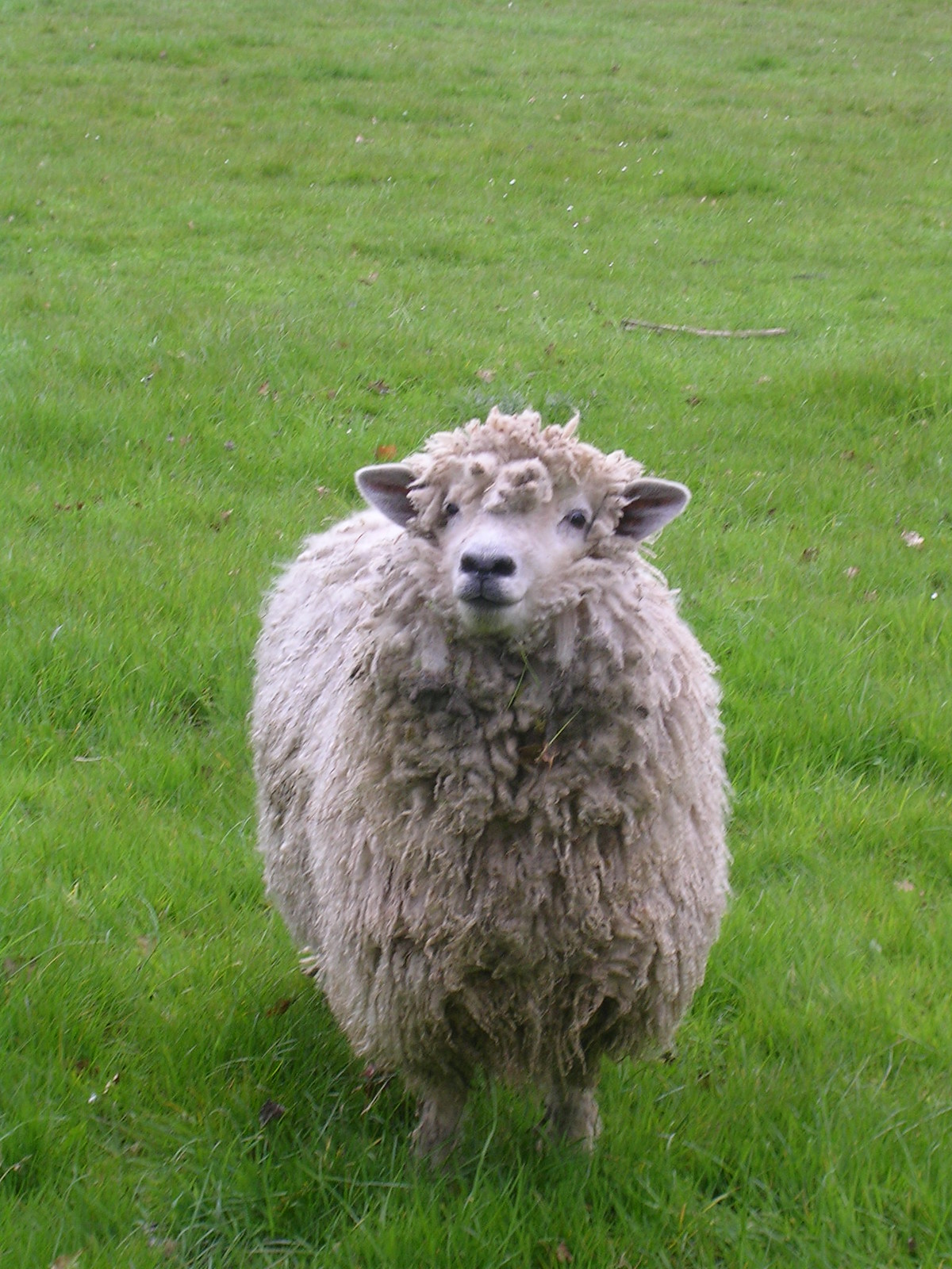 Sheep Manningtree circular.