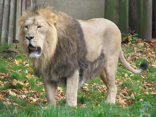 Lion at London Zoo | by jimbowen0306