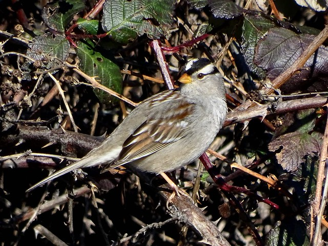 White-crowned Sparrow--Zonotrichia leucophrys gambelii