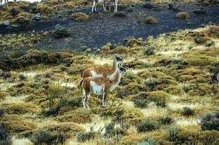 A pair of Guanacos