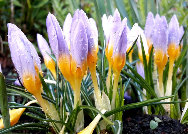 Crocuses after the storm