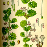 Glechoma hederacea (Ground Ivy Page)