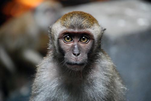 Macaque portrait   by Jean-François Chénier