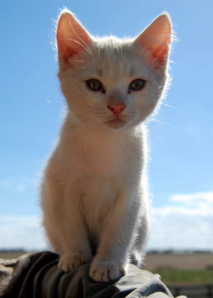 Mums Dirty White Kitten   Another picture of smudge this ...