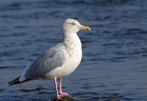 Herring Gull, winter | by birding4ever