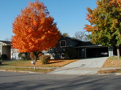 Maple Tree (Front Yard) | by pelennor