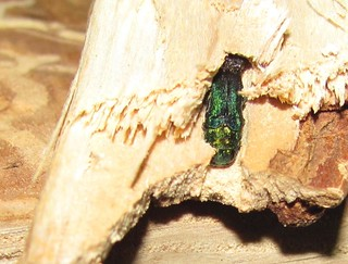 Emerald Ash Borer in firewood | by Region 5 Photography