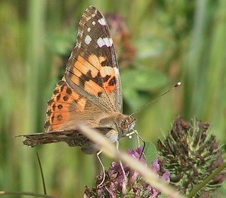 Painted Lady | by brewsterslinnet