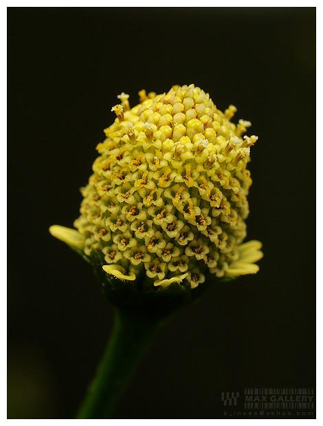 Spilanthes acmella - ผักคราดหัวแหวน