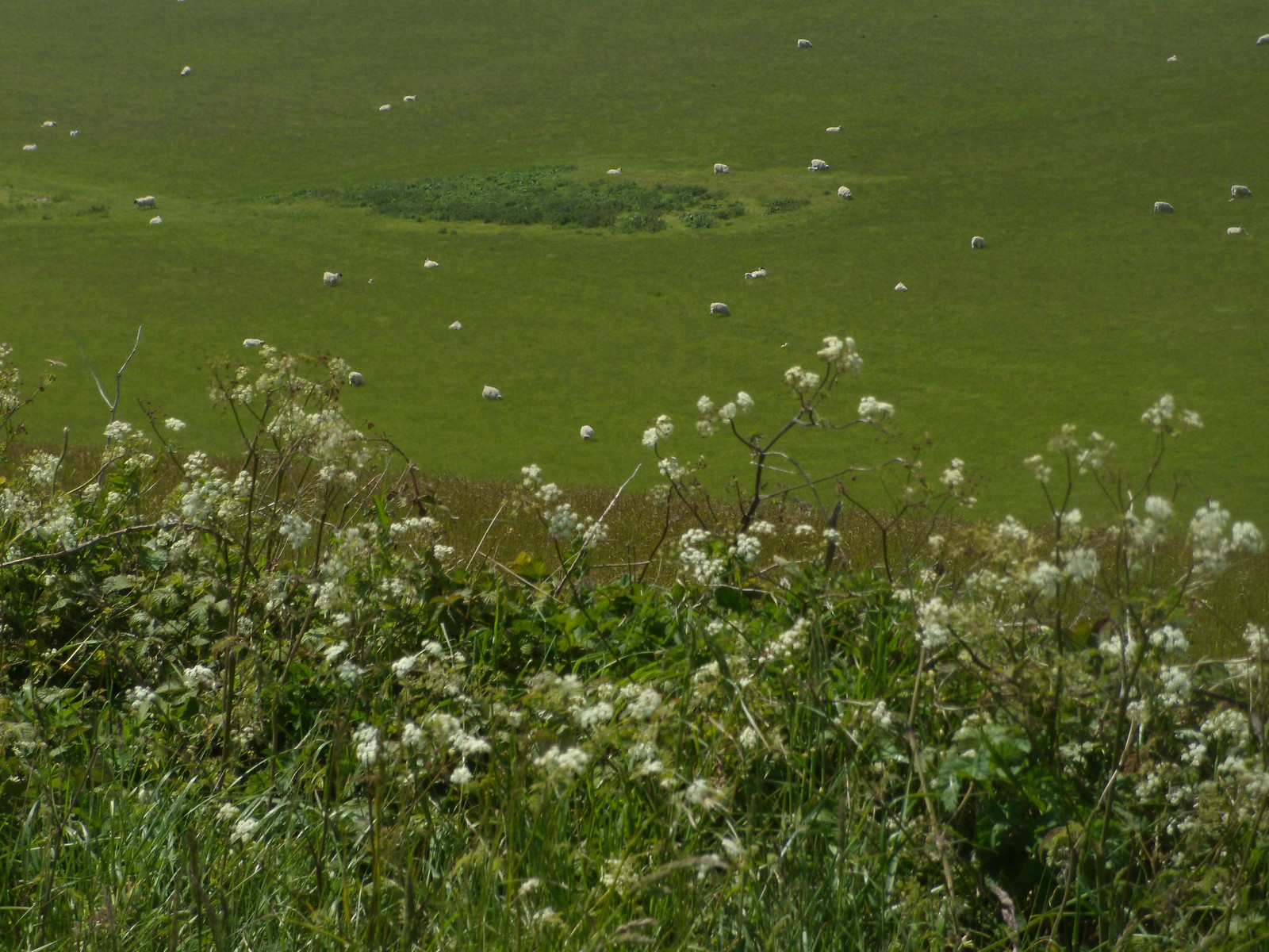 Cow parsley'n'sheep The sheep have become as one with the cow parsley. Southease to Rottingdean