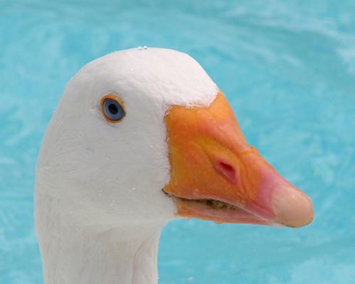 portrait white headshot goose featheryfriday sebastopolgoose