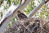 030014-IMG_6434 Square-tailed Kite (Lophoictinia isura) by ajmatthehiddenhouse