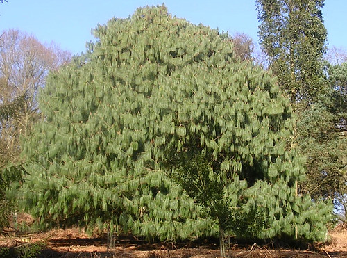 Unusual conifer Amberley to Pulborough