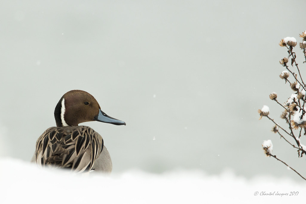 Northern Pintail Winter Scene- The Wise One?