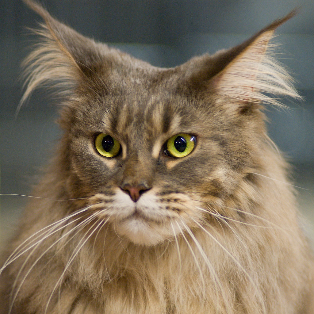 Maine Coon Spent A Day At A Cat Show I Kungälv Some Twent Flickr