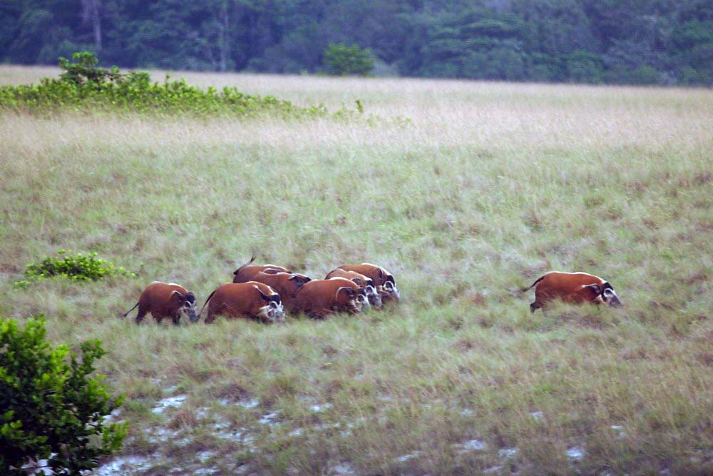 Red river hogs in Loango National Park in Gabon | Although p