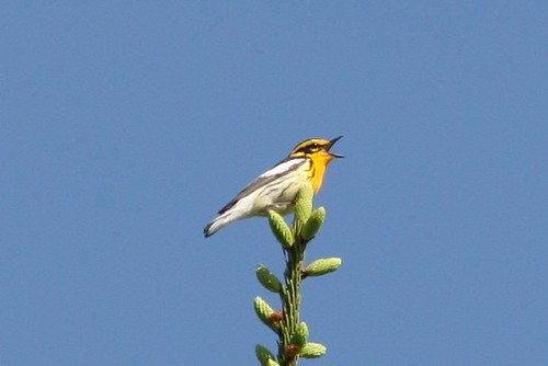 Blackburnian Warbler | by no ceiling