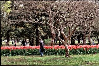 yoyogi-park-tulips