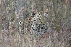 Female leopard in the Thornybush game reserve | by nyargle