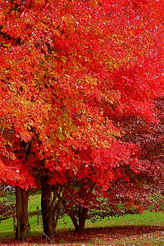 autumn trees nature leaves landscapes maryland shade reds scenics dlux smorgasbord masterclass southernmaryland calvertcountymaryland leicadlux3 treesubject diamondclassphotographer naturewatcher huntingtownmaryland