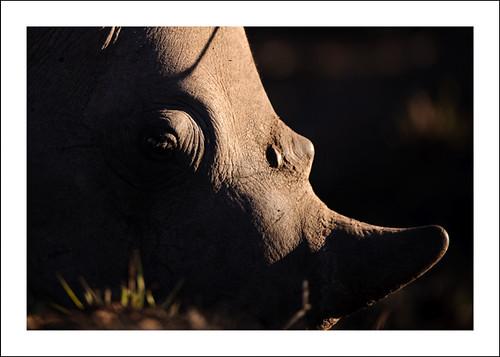 Rhino abstract