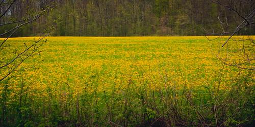 strange field weather yellow golden weeds dandelion 365 bizarre ourdailychallenge wouldithavekilledadeertowanderthroughthisfieldwhileiwasshooting