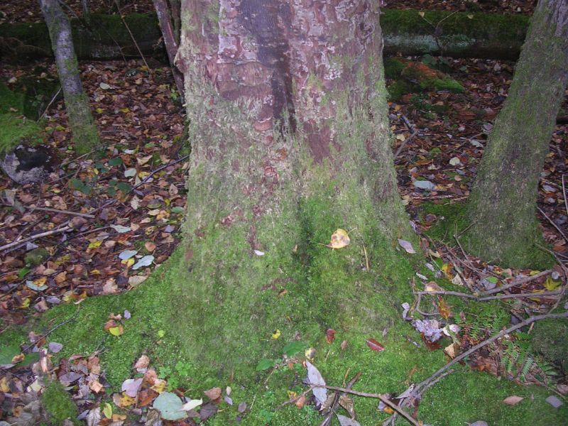 mossy trunk Holmwood to Gomshall