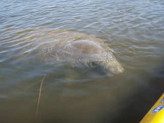 Manatee on my left | by cell911