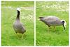 Emperor Goose - Chen Canagica by michl_007