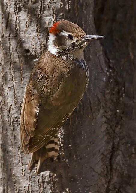 Arizona woodpecker male